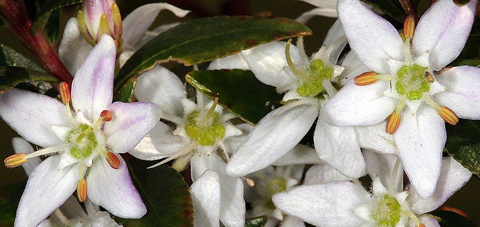 Buchu Leaf herb