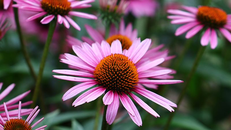 Echinacea flowers | fighting flu