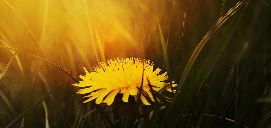 Dandelion can help with water retention