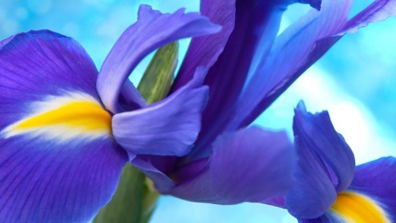 Blue flag herbal medicine