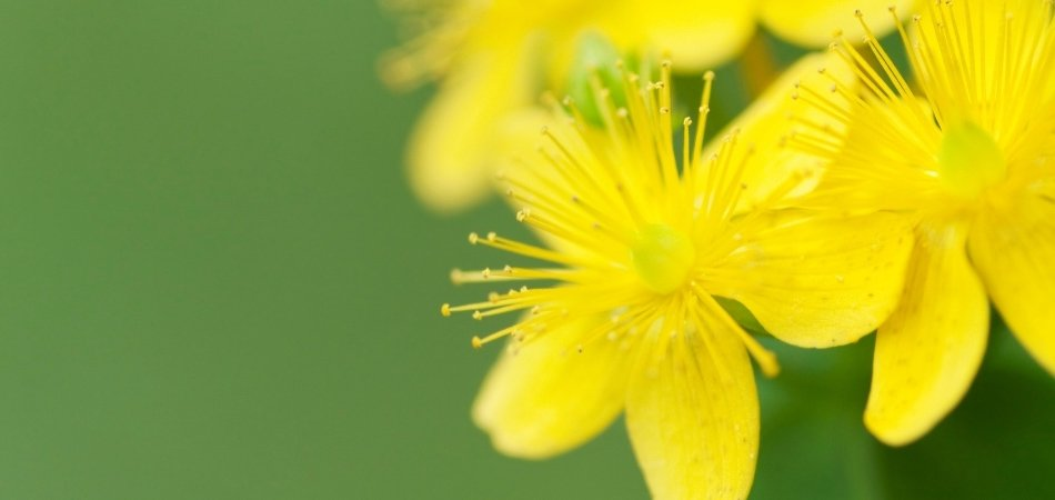 St John's Wort Flower | HRI Herbal Medicine