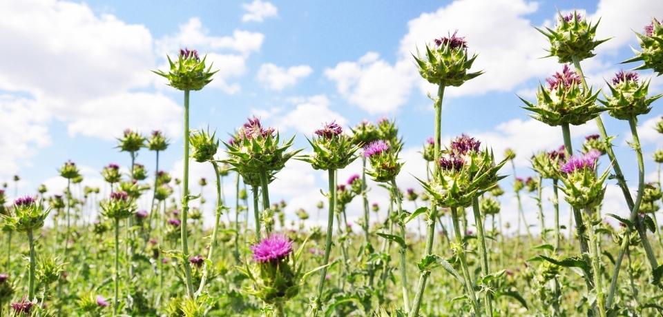 Milk Thistle | HRI Herbal Medicine